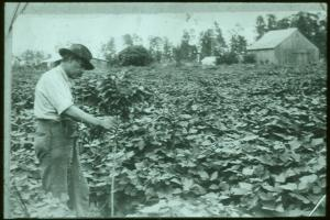 Establishing Kudzu in early 20th century FL